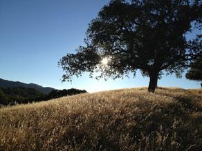 The Gibbet Tree - The Hilltop Oak
