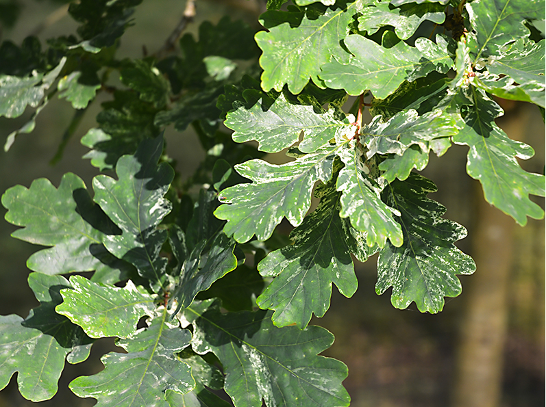 Variegated oak leaves