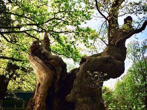 The Wivenhoe Oaks