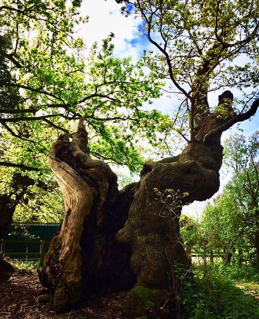 Wivenhoe Oak Tree