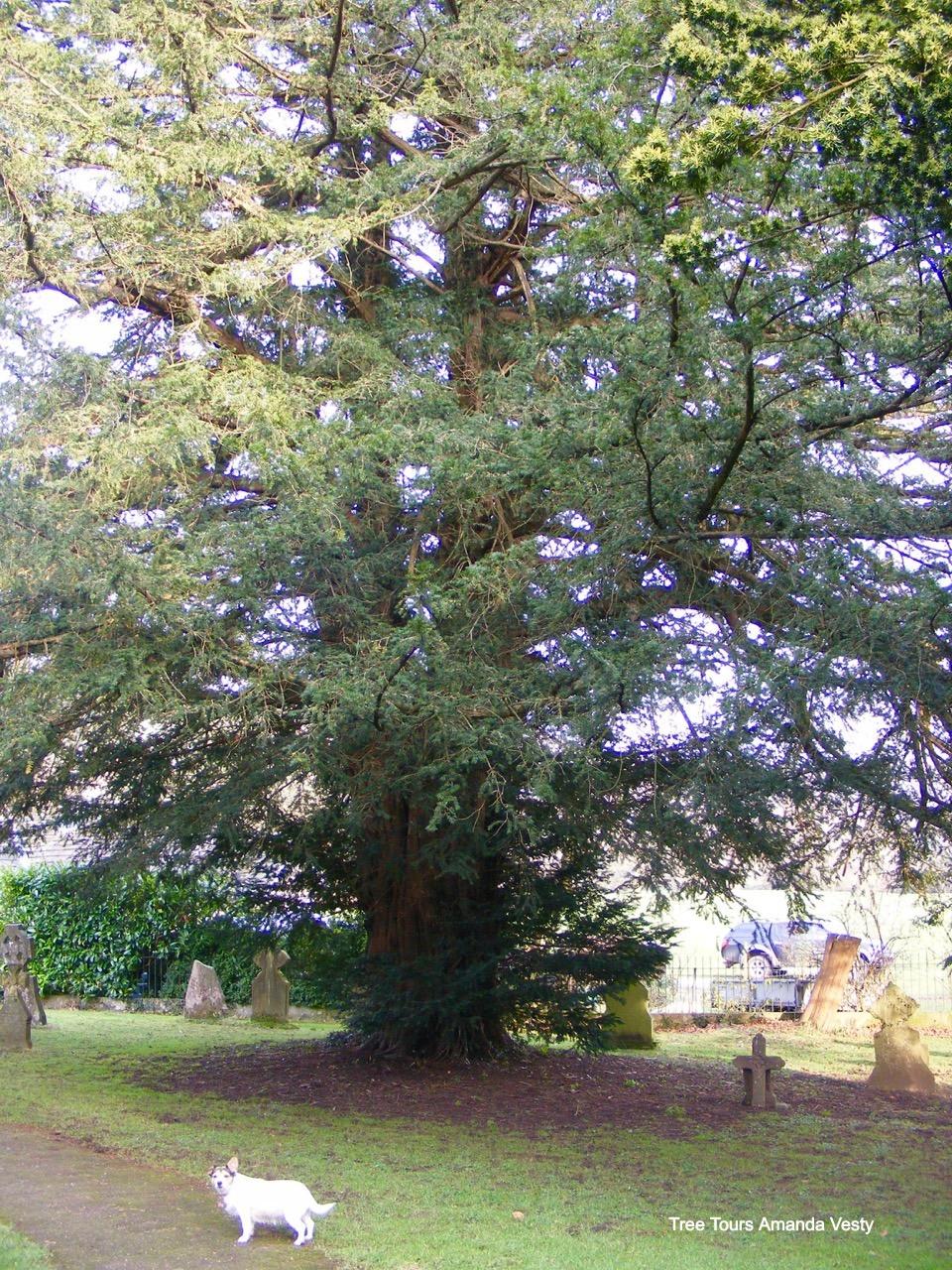 Yew tree Ilam churchyard