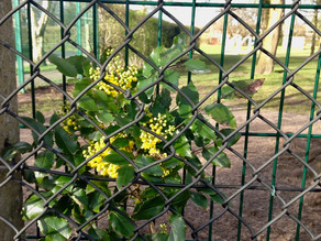 Flowering Between The Fences - Corona Virus Tree Teaching