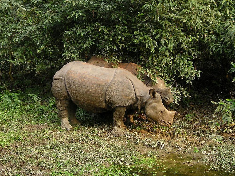 Rhinoceros Chitwan Park