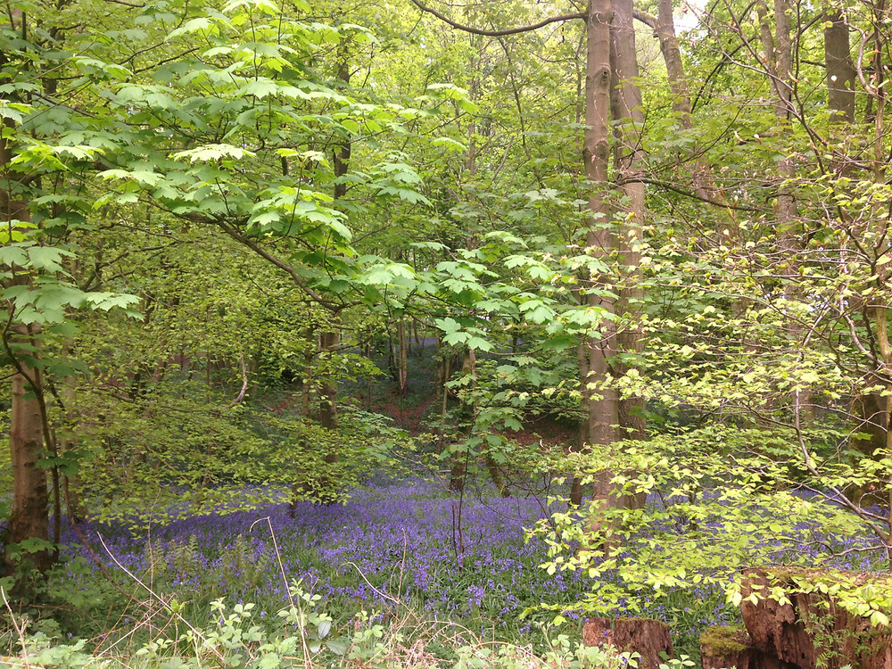 A glade of bluebells under sycamore and beech trees