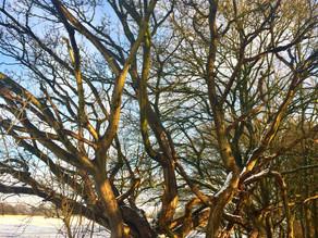 Innocence Tree and Snow Teaching