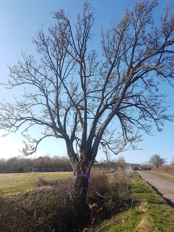 Britains Oldest Pear Tree