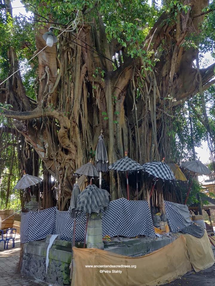 sacred tree in Bali