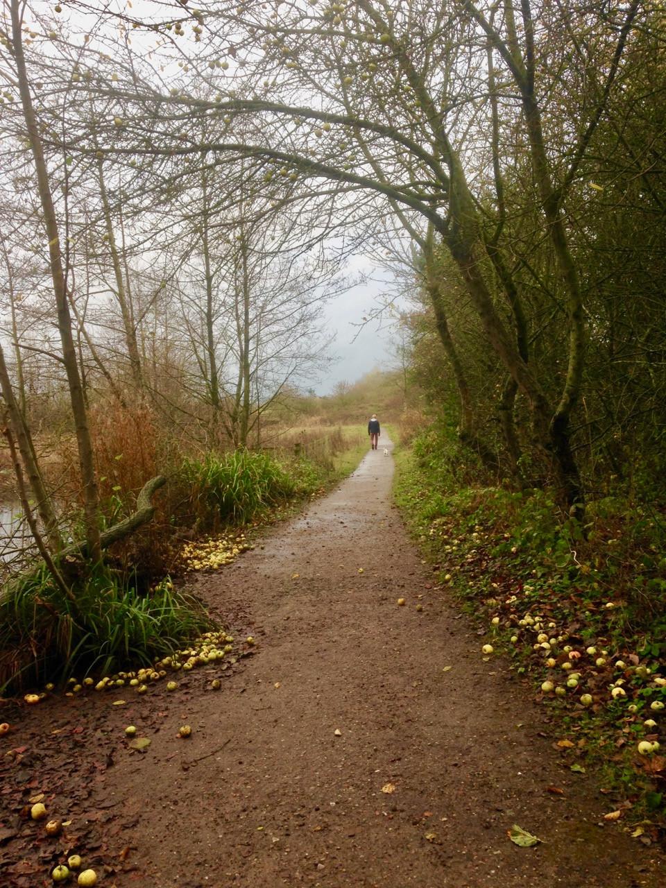 Footpath among fallen apples