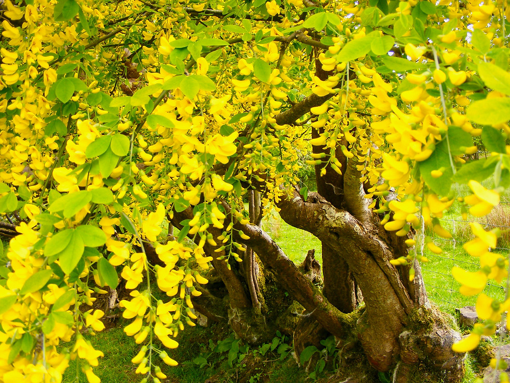Laburnam's Golden Treeses by Amanda C Vesty. Ancient and Sacred Trees.