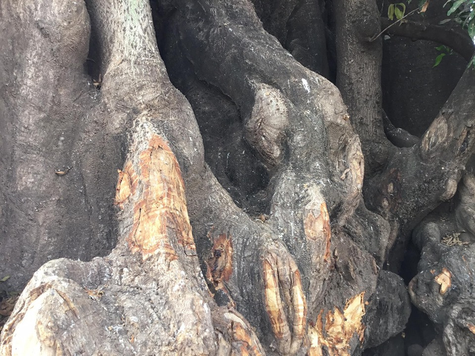 Tree Roots in Gambia