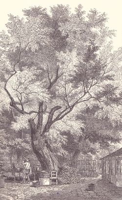 Robinia Tree 1854