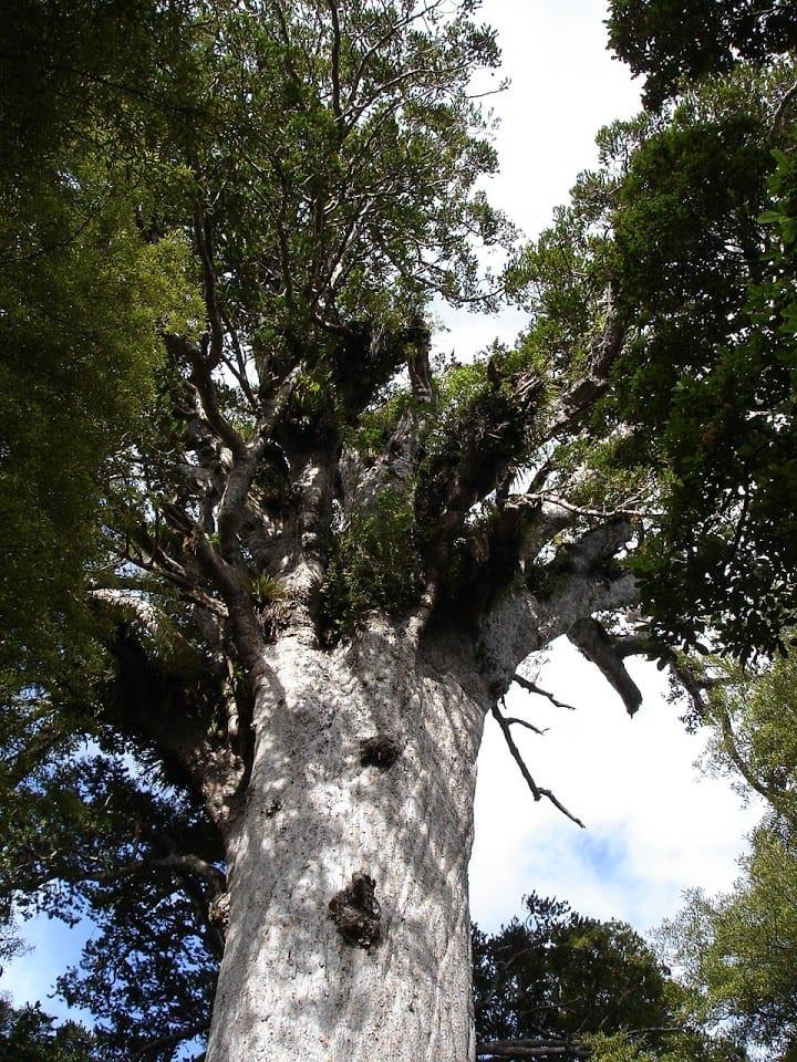 Tana Mahutu - Lord of the forest. Tree New Zealand