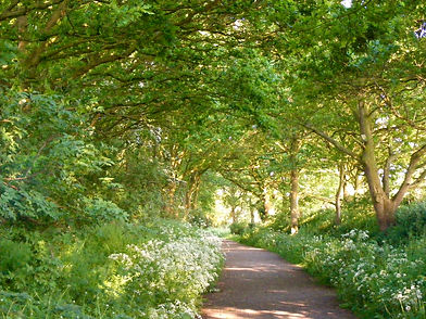 Oak and cow parsley path to Heaven