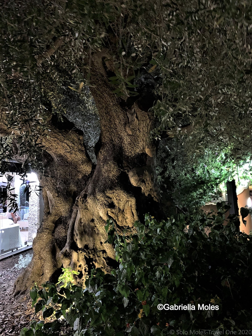 thousand year old olive tree by Gabriella Moles