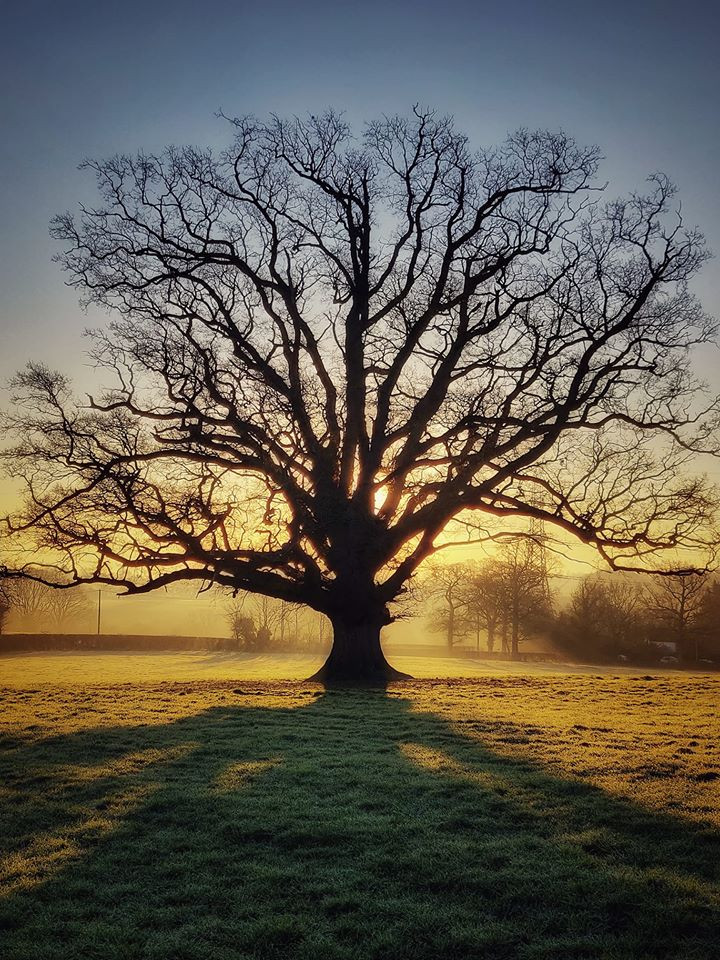 Sunrise behind oak tree