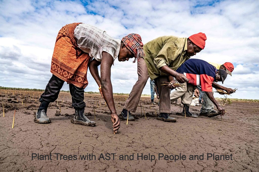 People planting mangrove seeds in mozambique