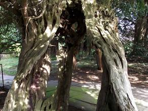 Saving Britains Ancient Yews