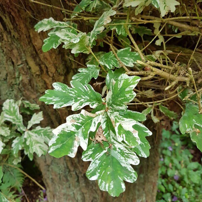 Quercus Robur 'Albomarmarata'