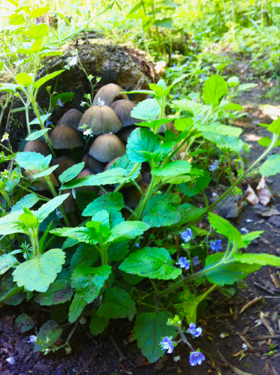Fungi, Forget Me Not