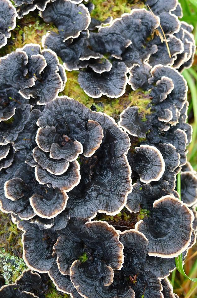 Turkey Tail fungus by Stuart Robins