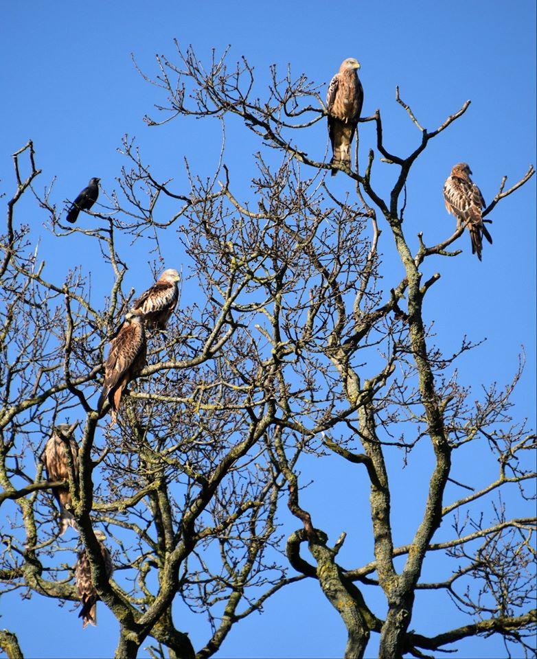 red kites birds