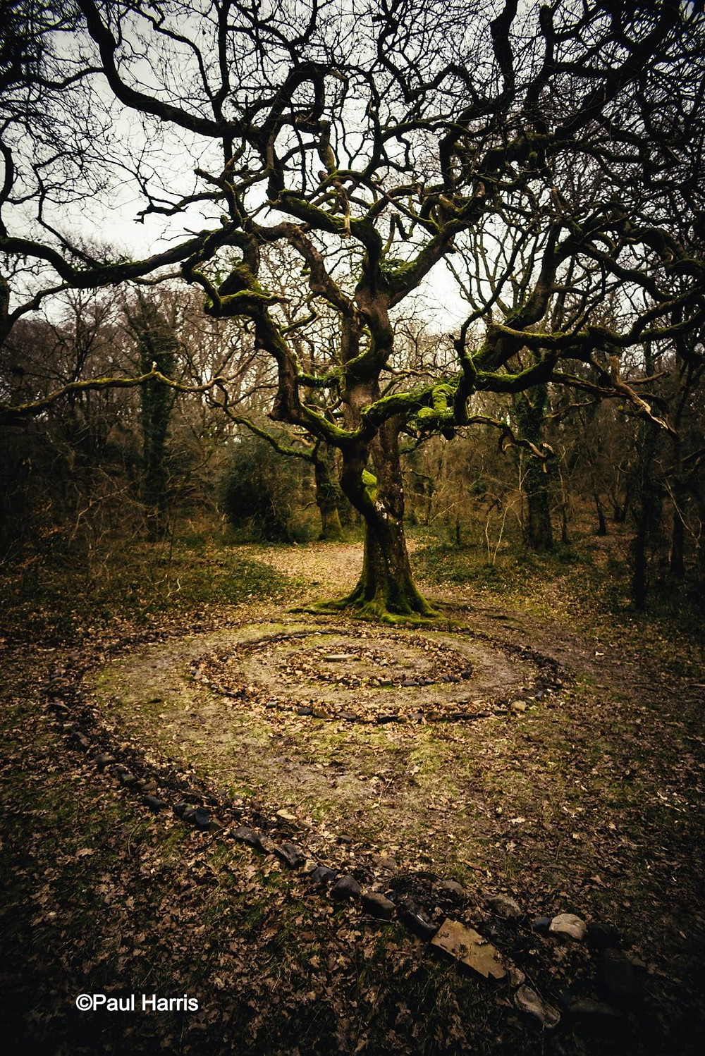Oak tree with spiral by Paul Harris in Ancient and Sacred Trees