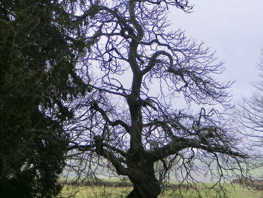 The Twisting Tree - Tree Teaching & Meditation