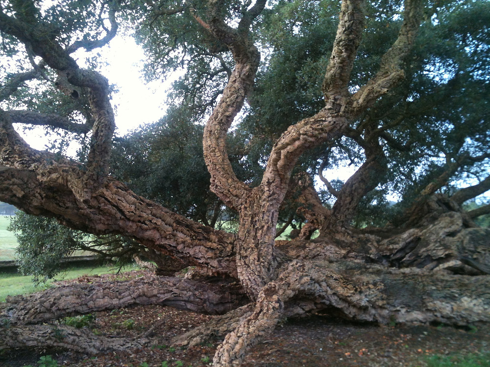 Reco Cork Oak Wivenhoe Essex