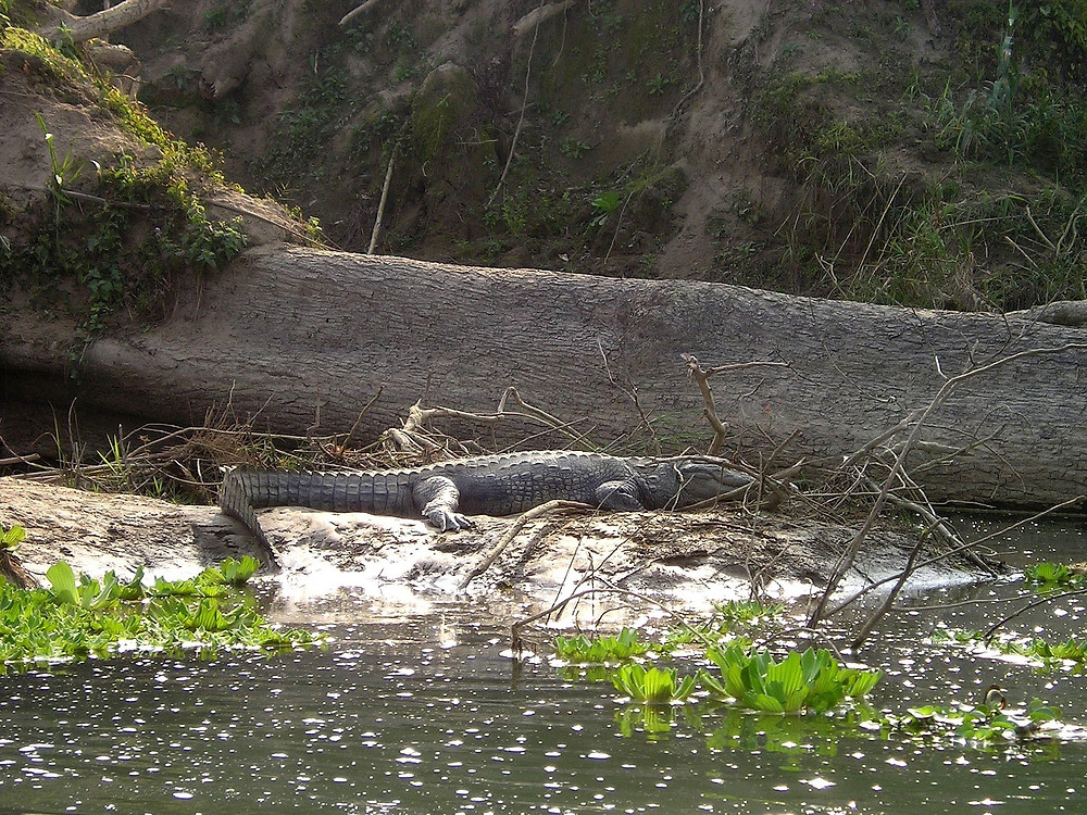Crocodile Chitwan Park Nepal