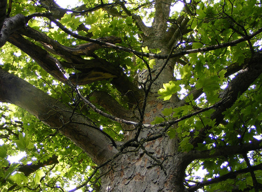 Corona Virus and Trees – How Trees Can Help Save Us from Covid 19