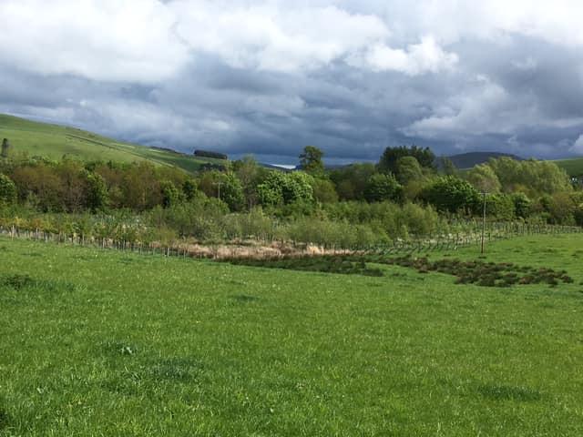 Mature planted woodland