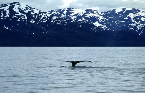 Humpback whale, Glacier Bay, Alaska, 1992