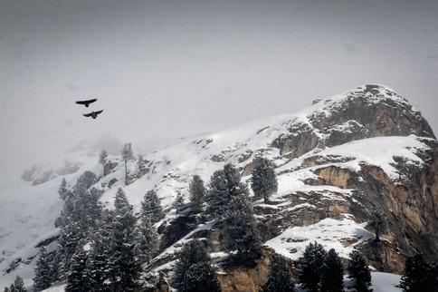 Gipeti in Val d'Avers, 2021