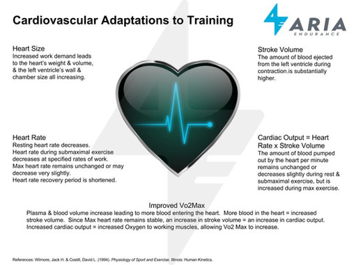 Cardiovascular Adaptations to Training