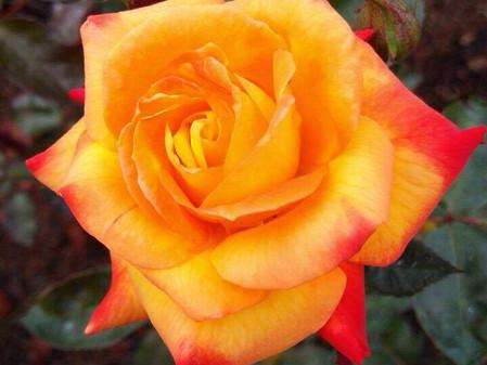 Nas cores de uma rosa