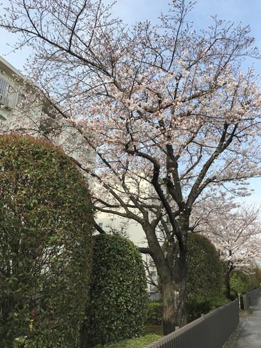 春がきた(*^_^*) by N.KIDO