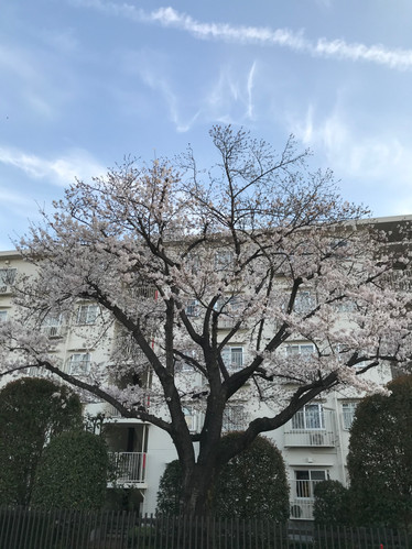 桜咲く咲くきれーい^^ by K.HARA