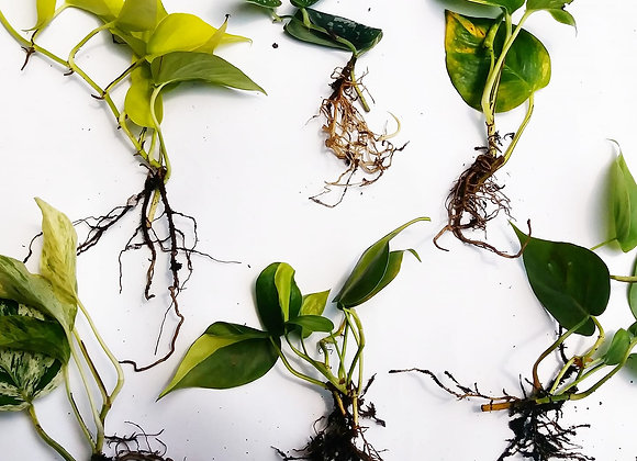 Bare Roots Collection: POTHOS