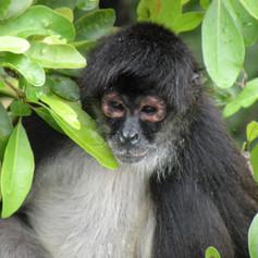Monkey on Lamanai Trip