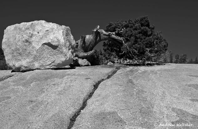 Bristlecone Pine, Yosemite, California