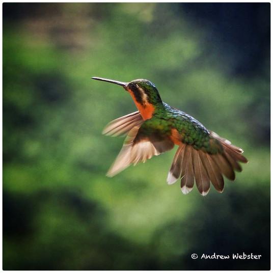 Scintillating Hummingbird