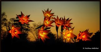 Illuminated Daffodils
