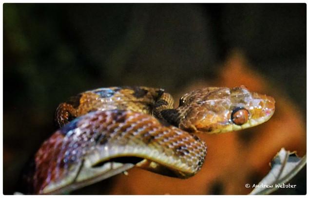 Northern Cat Eyed Snake