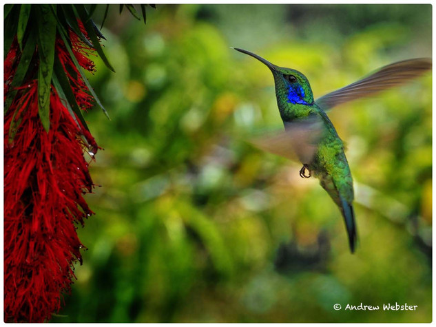 Volcan Hummingbird