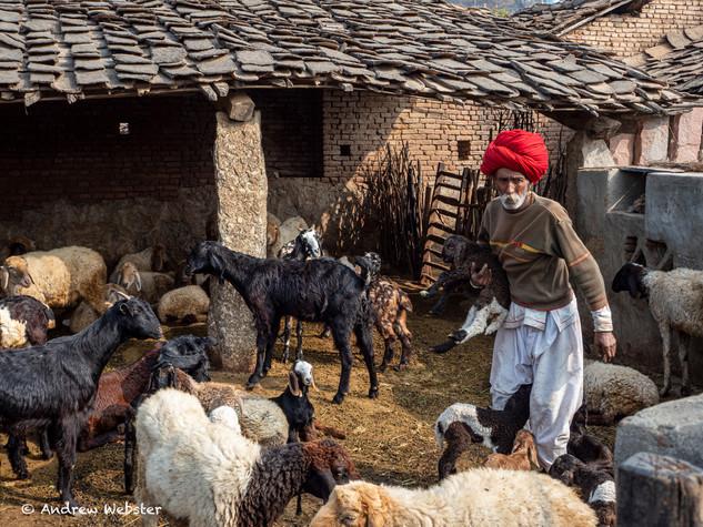 Narlai Goatherd, Rajasthan