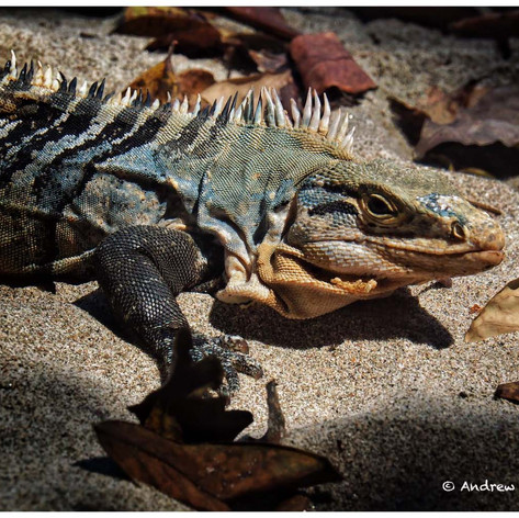 Spiky Tailed Iguana