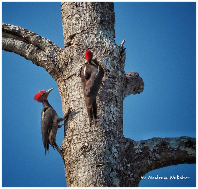 Lineate Woodpeckers