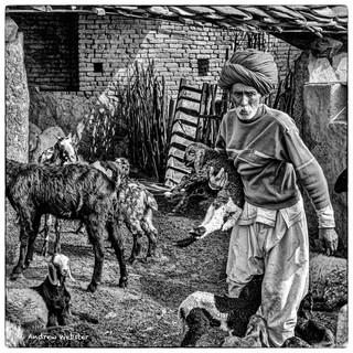 Goatherd in Narlai, Rajasthan