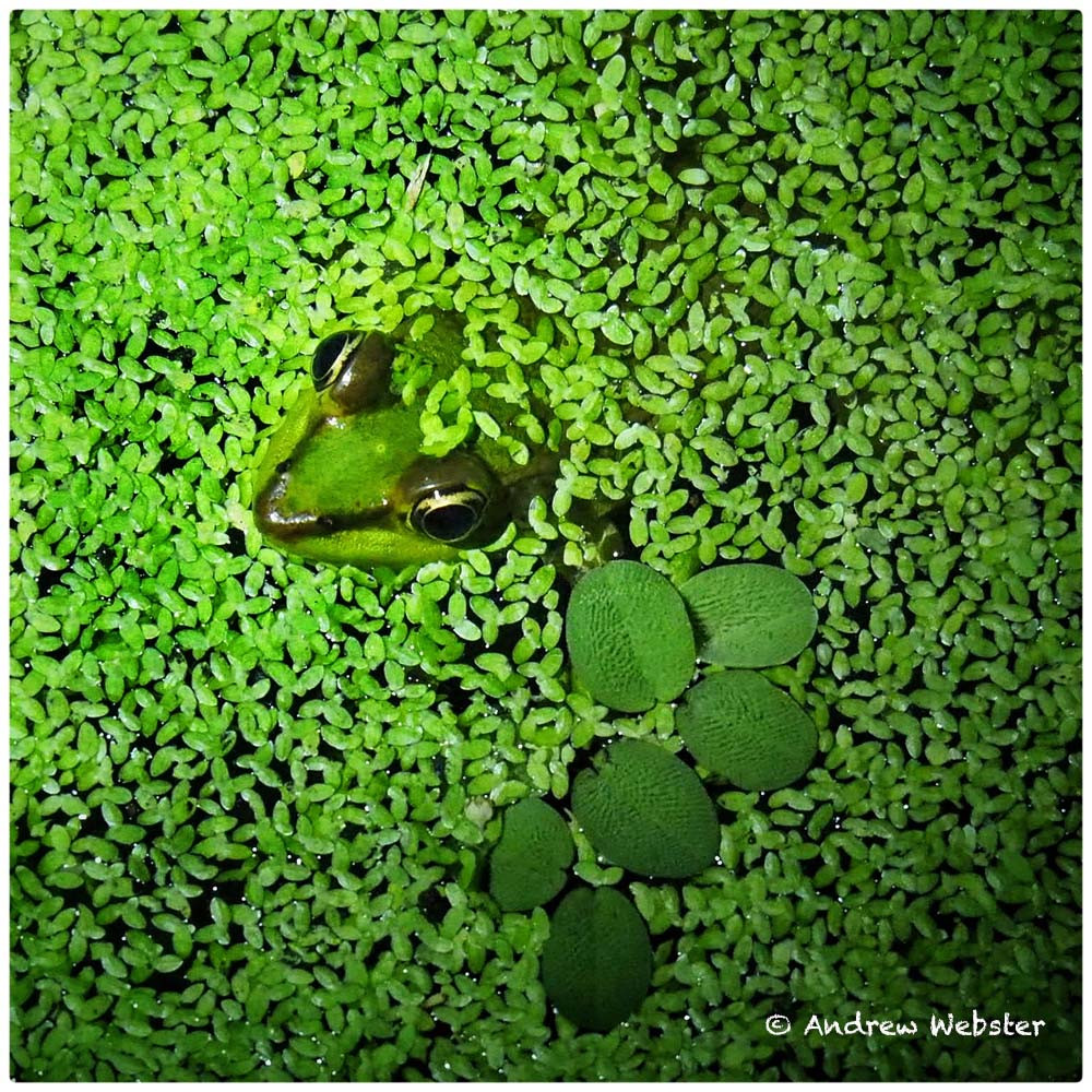Vaillant's Frog