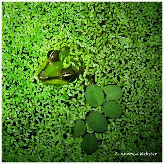 Vaillants Frog